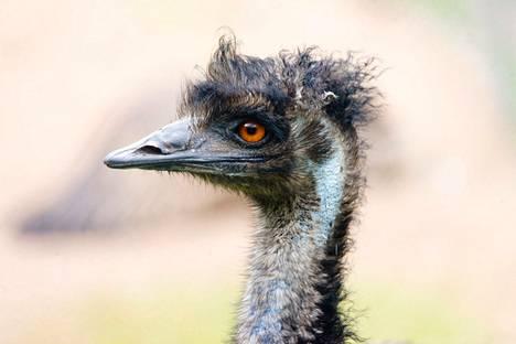 Kuvituskuva. Emu on maailman toiseksi suurin lintu. Emu kasvaa 1,5–1,9 metriin.