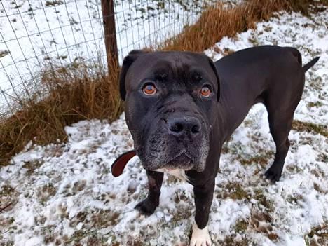 Tämä koira löydettiin nälkiintyneenä ja hylättynä metsästä muutama viikko sitten ja se on saanut elopainoaan hyvin takaisin, kertoo eläinhoitolan pitäjä Jere Pitkänen.