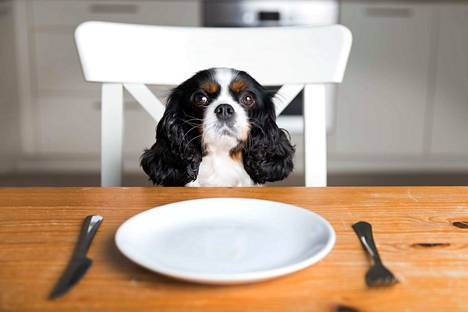 Etenkin pienelle koiralle jo vähäinen määrä esimerkiksi tummaa suklaata voi olla vahingoksi.