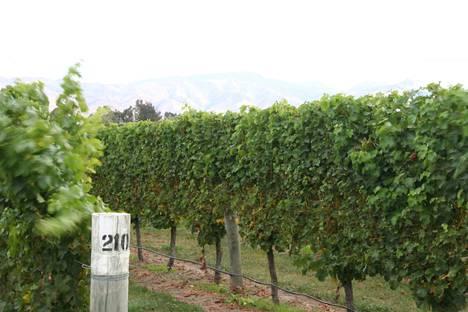 Kuohuviinivertailun voittajaviini tulee näistä maisemista Uuden-Seelannin eteläsaarelta. Marlborough'n tasangon viinitarhoja taustoittavat Uuden-Seelannin Alppien ensimmäiset harjanteet.