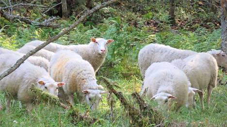 Suden karkottamia lampaita etsittiin perjantai-aamuna Keuruun Vehkomäessä. Raadellut eläimet joudutaan lopettamaan. Kuvituskuva.