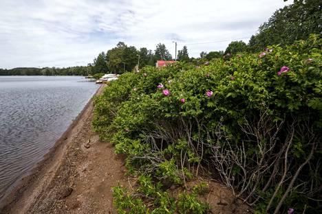 Kurtturuusu on erityisen haitallinen merenrantaluonnolle, sillä läpitunkematon kasvusto peittää alleen kaiken muun. Arkistokuva on sisävesiltä, Pyhäjärven rannasta Tampereelta.