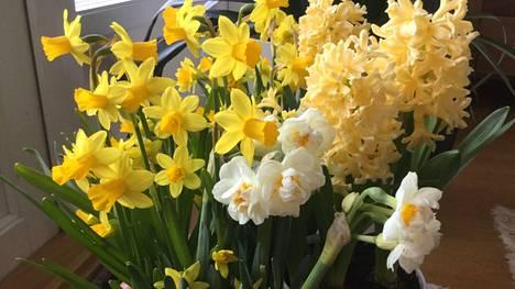 Puutarhassa kukkivat jo kevään ensimmäiset narsissit.