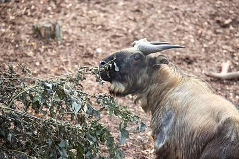 Kaikkiaan eurooppalaisissa eläintarhoissa elää reilut 150 takinia. Mari Lehmonen / Korkeasaari Zoo