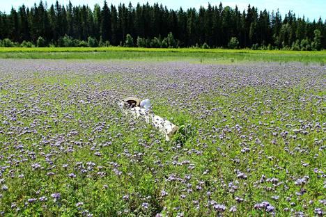 Mehiläiset ovat rauhallisia olentoja. Tapani Suonperä voisi rauhassa vaikka torkkua hunajakukkaniityllä.