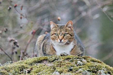 Kirjoittaja toivoo kissanomistajien pitävän kissansa kiinni, etteivät ne pääse tekemään tarpeitaan lasten leikkipaikoille. Kuvituskuva. Kuvassa oleva kissa ei liity mielipidekirjoitukseen.