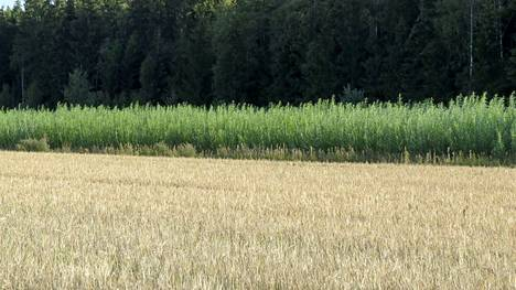 Pajun kosteikkoviljelyä polttoturpeen jättösuolla Kouvolassa. Päälohkolla kasvaa ohraa. Suojakaistan lohkolla, pääojan takana kasvaa kosteikkopajua, lajiketta Salix Klara.