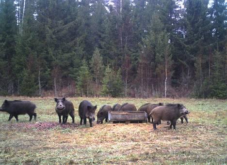 Kymmenkunta villisikaa pysähtyi peurojen ruokintapaikalle ja tallentui riistakameraan keskellä päivää Huittisissa viime viikon tiistaina.