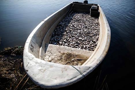 Arvokkaat petokalat vapautetaan Iidesjärveen jo rysää koettaessa. Nämä särjet ja muut pohjanpöyhijät poistetaan.