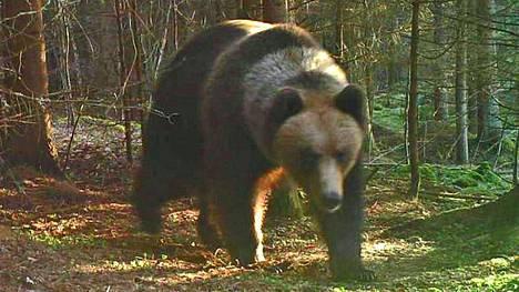 Hämeenlinnan hallinto-oikeus hylkäsi Ylä-Pirkanmaan karhuluvista tehdyn valituksen, ja karhujahti jatkuu Pohjaslahden yhteislupa-alueella. Karhuja voi metsästää 31. lokakuuta saakka.