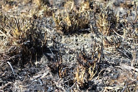 Edellisen kesän ruoho on kuivaa ja syttyy nyt helposti palamaan.