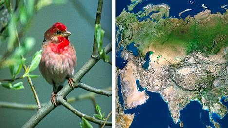 Euroopan punavarpuset matkaavat talvehtimaan Intian niemimaalle. Kaikki Euroopan punavarpuset eivät kuitenkaan kulje yhtä matkaa idästä länteen, vaan reitit vaihtelevat tarpeen mukaan.
