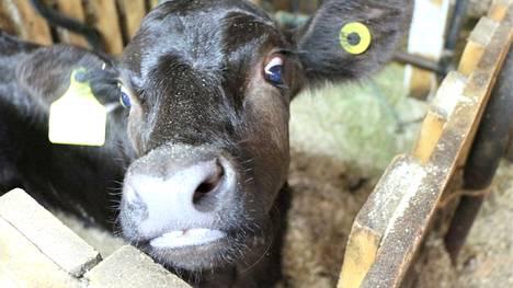 Lihan kokonaiskulutus laskee. Naudanlihan kulutus loivasti, sianlihan jyrkemmin. Siipikarjanlihan kulutus jatkaa suhteellisen tasaista nousuaan.