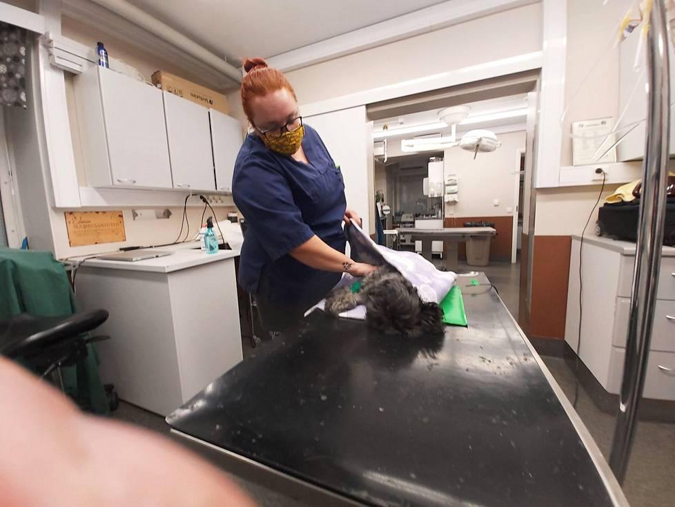 Kuusivuotias Balo-koira sai apua suolisto- ja vatsakipuihinsa Maantiekadun vastaanotolla. Balon kuntoa leikkauksen jälkeen arvioi päivystävä eläintenhoitaja Marissa Salonen.