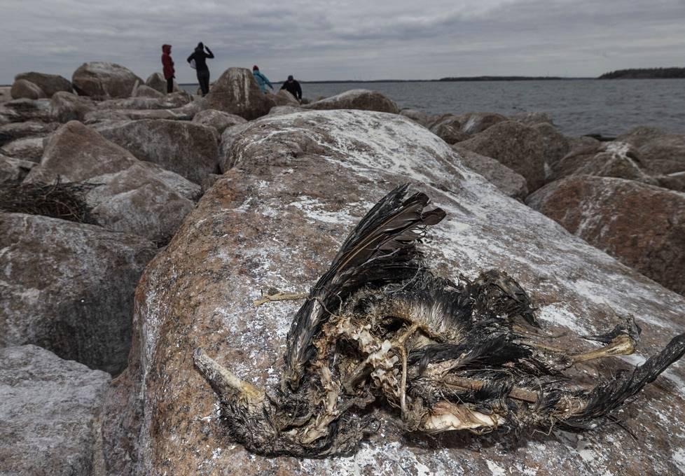 Pesimäluodolta löytyi sekä kuolleita poikasia että aikuisia lintuja.