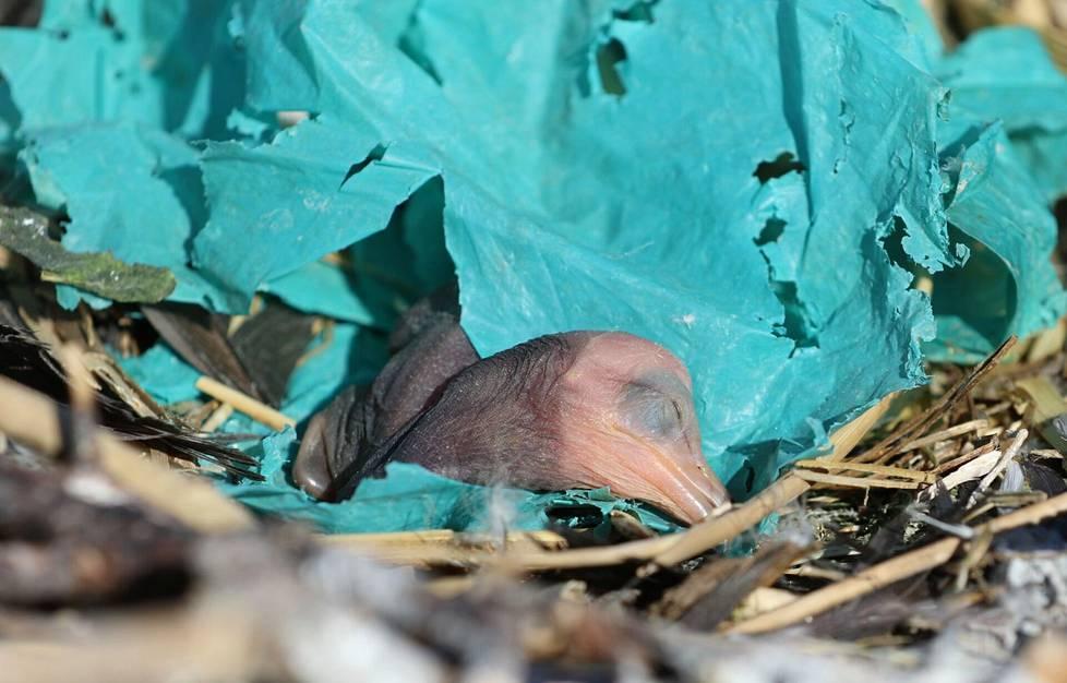 Merimetsot altistuvat roskalle jo poikasena, sillä linnut keräävät muovia pesäänsä. Kuvassa vastakuoriutunut merimetso Haminassa kesäkuussa 2018.