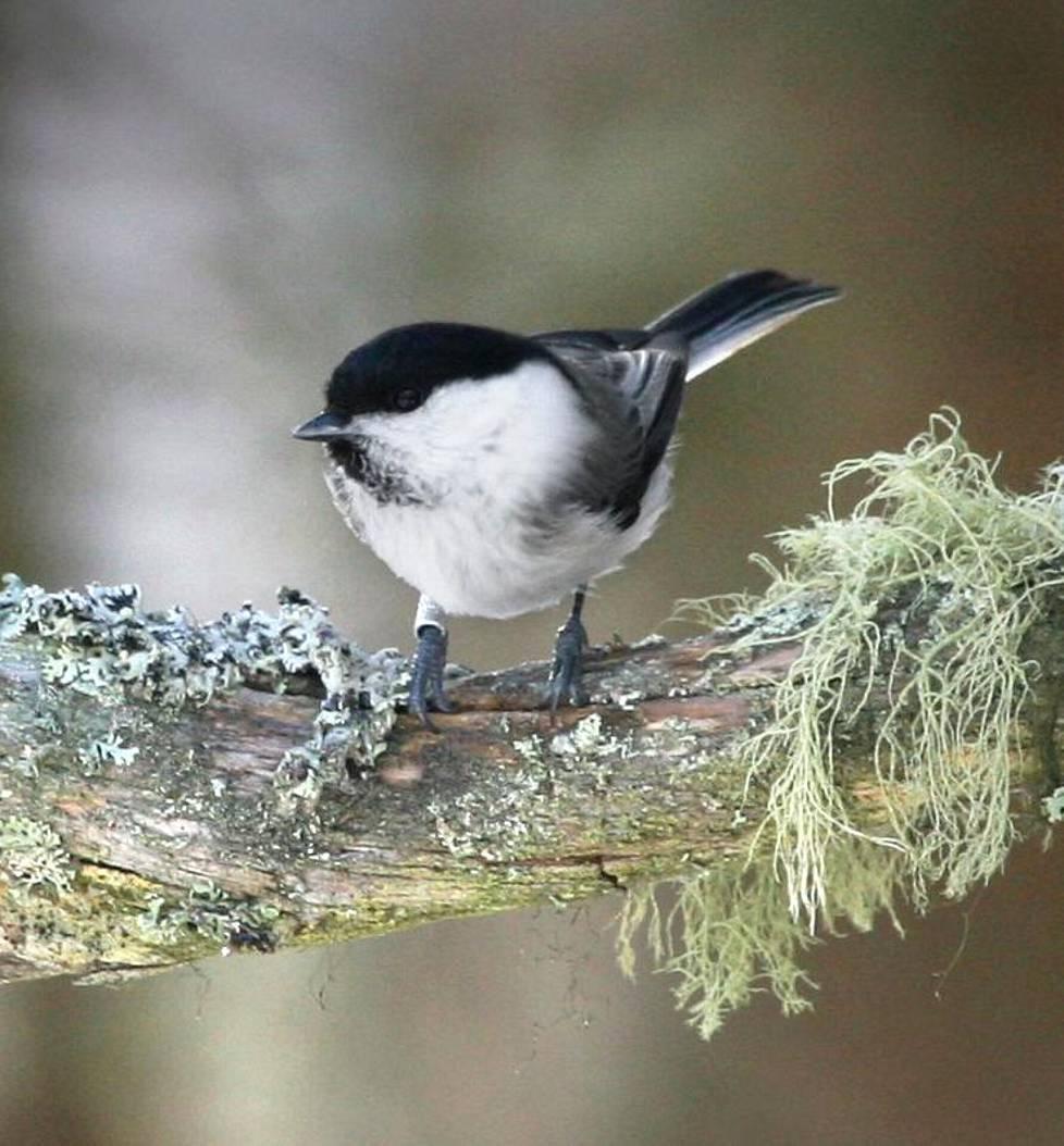 Metsätalous on merkittävä syy lintukantojen vähenemiseen. Hömötiainen oli ennen Suomen metsien runsaimpia lajeja, mutta määrä on vähentynyt rajusti. Hömötiainen luokitellaan nykyisin erittäin uhanalaiseksi. Lintu ei löydä nuorista talousmetsistä riittävästi ravintoa eikä lahopuita pesimiseen.