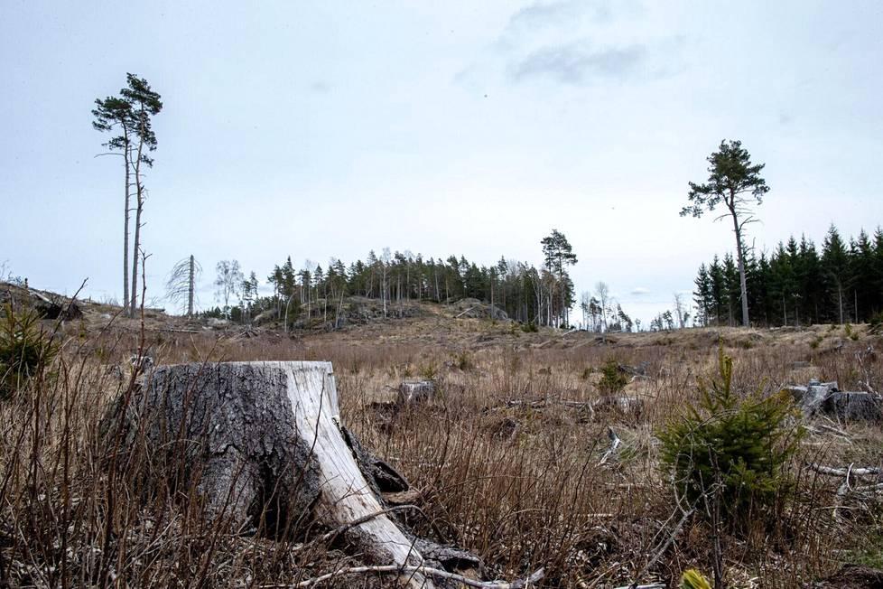 Kemiönsaarella sijaitseva metsäalue viitisen vuotta hakkuiden jälkeen.