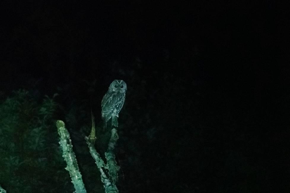 """Lehtopöllö syyssoitimella illan hämäryydessä. Lintukoululaisten yöretki suuntautuu Mouhijärven Otamukseen, keskelle kahta lehtopöllöreviiriä, jossa """"kissapöllö"""" on äänessä. Lämmin iltayö on suotuisa pöllöjen soitimelle."""