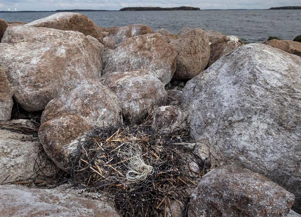 Merimetsot keräävät pesiinsä lähiympäristöstä löytämäänsä muoviroskaa.