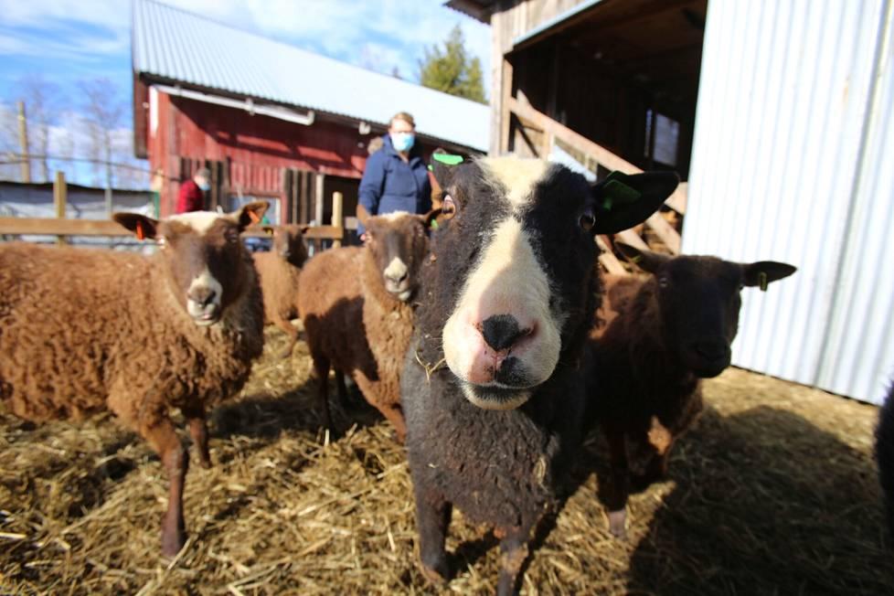 Koivusalon mökin lammaslomalaiset sitoutuvat pitämään huolta tilan lampaista, laskemaan ne ja kuljettamaan niille vettä ja kivennäisiä laitumelle. Lampaiden rapsuttelu on myös tärkeä osa lammaspaimenen työtä. Taustalla Ville (vas.) ja Anna Rantala.